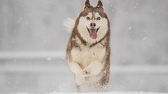JJC_6468 (Jimmy C. Photography) Tags: winter dog brown white snow cold silly beautiful smiling puppy jumping husky pretty young running active