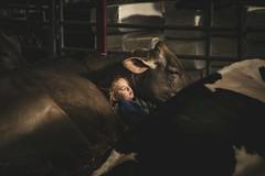 resting (Jen MacNeill) Tags: sleeping cow pennsylvania farm farming pa rest harrisburg holstein farmshow 2015 brownswiss pennsylvaniafarmshow
