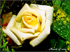 DSC00142-ED Heart of rose (golden0712) Tags: rose sony f717 a300