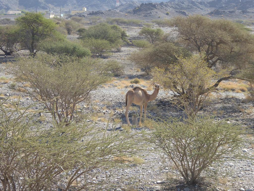 Camel!!