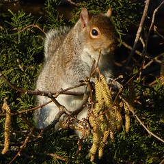 A squirrel called Hazel? (Englepip) Tags: tree primavera sunshine grey gris spring squirrel grau hazel rbol arbre printemps baum feasting ardilla frhling eichhrnchen ktzchen chatons hasel avellana caking lcureuil amentos ruby10 ruby15 ruby20 lenoisetier