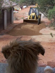 Construction Supervisor (Sedona Clearing House) Tags: dog love jack landscaping watch guard shaggy pup build bulldozer alert watchdog afghanhound
