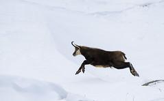 Jump (Claudio Cantonetti) Tags: winter italy parco snow ice nature animal mammal frozen jump nikon europe action wildlife gran claudio ceresole reale paradiso chamois nazionale 2015 pedimont pngp d7000 cantonetti