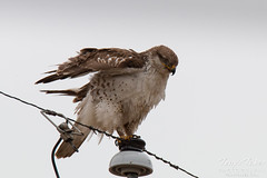 Ferruginous Hawk shakes it off