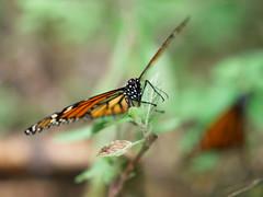 Monarcas (bdebaca) Tags: winter butterfly mexico butterflies bosque invierno migration mariposa mariposas monarchs estadodemexico migracion mariposamonarca monarca monarcas