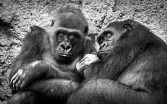 Gorilla Gangsters (DobingDesign) Tags: newyorkcity two blackandwhite hairy usa animals america gangster team eyes respect duo gang attitude together stare bronxzoo awareness glance gorillas intimidating facialexpression prospectparkzoo westernlowlandgorilla animaleyes cuddledup wearelistening lookingstraightintothecamera
