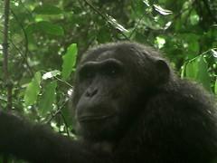Chimp Up Close