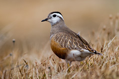 Eurasian Dotterel Charadrius morinellus, Norway (janmangorfagerland) Tags: bird nature field birds animal norway landscape photography norge photo nikon flickr jan bokeh outdoor g wildlife natur 300mm ii 600 skog planet 28 mm nikkor ornithology vr fugler fjell myr karmøy 8g charadrius supertele birdsgallery 600mm morinellus birdphoto vidde 28g fagerland mangor d4s nikond600 nikond800 300mmvrii nikkor600mmais d800e nikond800e nikon300mmvrii2 nikon300mmvrii28g