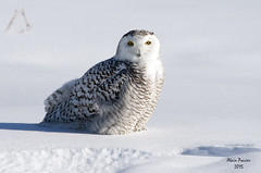 Snowy Owl Look (alainpoirier48) Tags: female wow de close snowy des owl alain beatiful poirier neiges femelle prs harfang