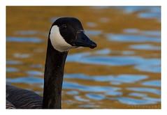 Branta canadensis - Canada Goose (Marc Nollet) Tags: canadagoose brantacanadensis auderghem bernacheducanada grotecanadesegans rougeclotre nollet oudergem roodklooster