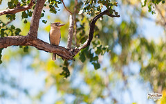 Kookaburah Sits... (4k) (Take a Squiz Photography) Tags: bluewingedkookaburra northernterritory australia bird wallpaper nikon d3 nikond3 70200mmf28 nature dryseason color colour horizontal sigma 4k morning daytime ultrahighdefinition uhd hd au dslr sigma70200mmf28 wallpaper1610 1610 16x10 animal naturephotography outdoor