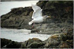 Lift off (CanMan90) Tags: ocean winter beach canon flying bokeh britishcolumbia seagull sunday sunny victoria vancouverisland cattlepoint larusoccidentalis cans2s rebelt3i