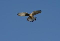 Kestrel_6634 (marsh and moor) Tags: bird nature nikon wildlife kestrel d800 oare