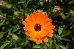 Orange petals (quinet) Tags: flowers orange berlin fleurs germany blumen botanicalgarden jardinbotanique 2014 botanischergarten geo:country=germany geo:city=berlin geo:state=berlin exif:make=sony camera:make=sony exif:aperture=56 exif:lens=28100mmf1849 exif:model=dscrx100m2 exif:isospeed=160 exif:focallength=104mm geo:location=berlingermany camera:model=dscrx100m2