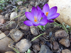 March 15, 2015 - The first flowers of spring in one Thornton yard. (Jennifer McNeil )