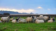 Monterey, California (dharyant) Tags: sunset monterey nikon sheep nikkor sheeps d700