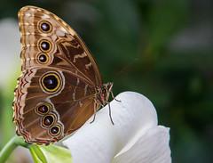 Butterfly (Pauline Brock) Tags: nature butterflyexhibit montrealbotanicalgardens butterfliesgofree papillonsenliberte espacepourlavie butterflymontreal