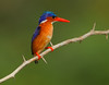 Malachite Kingfisher (Rainbirder) Tags: kenya malachitekingfisher alcedocristata lakenaivasha rainbirder