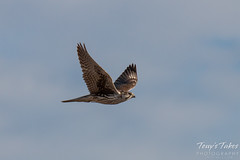 Prairie Falcon flyby sequence - 7 of 8