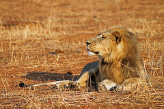 Lion: Panthera leo