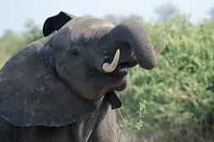 Raise Your Head (wenzday01) Tags: park morning travel elephant nature animal nationalpark nikon wildlife sigma safari botswana chobe africanelephant kasane gamedrive chobenationalpark d7000 chobechilwero nikond7000 sanctuaryretreats 120400mmf4556afapodgoshsm