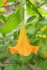 Orange Bell Flower Haiku (Don Iannone) Tags: summer garden haiku summerflowers orangebellflower