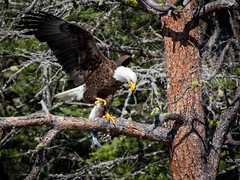 Fresh Catch (joanr) Tags: fish nature birds montana wildlife baldeagle flatheadlake eagles baldeagles polson