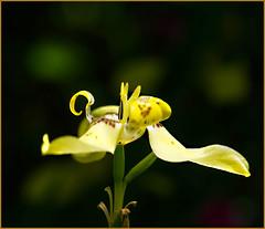Yellow Orchid (Karen McQuilkin) Tags: flower yellow hawaii coldplay yelloworchid karenmcquilkin httpsyoutubez904fwqqtqc