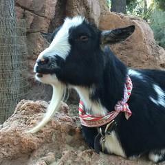Goat Eating (Sam Howzit) Tags: video goat