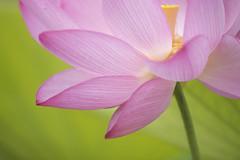 LOTUS (ajpscs) Tags: summer flower macro japan japanese tokyo pond waterlily lotus  nippon  saitama    waterplant aquaticplant nelumbonucifera gyoda  ajpscs divinebeauty aquaticperennial beautyfrommud divinesymbol   hasunohana kodaihasunosato kodaihasu  lotusawakens nikond750