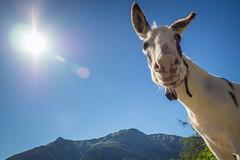 P7193258 (martin.jooss) Tags: mountain panorama alpen sterreich outdoor landschaft hgel berg donkey esel