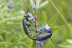 Nuttall's blister beetles (Jeff Mitton) Tags: macro insect colorado mating lupine wondersofnature blisterbeetles warningcoloration earthnaturelife universityofcoloradomountainresearchstation lyttanuttalli nuttallsblisterbeetles
