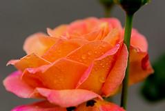 Rose after the rain (Poupetta) Tags: droplets rose raindrops portland