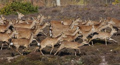 Sika Deer 140416 (3) (Richard Collier - Wildlife and Travel Photography) Tags: wildlife naturalhistory mammals deer sikadeer british