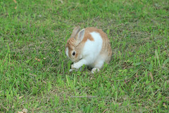 20160605-IMG_8353.jpg (ina070) Tags: animals canon6d grass pet rabbit