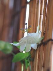 """""""  """" (Polotaro) Tags: flower nature pen garden olympus    7    mzuikodigital45mmf18 epm2"""