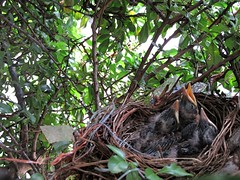 IMG_1190_Fotor01 (Ela's Zeichnungen und Fotografie) Tags: baby nest natur hannover vgel busch kcken