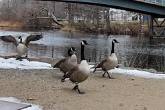 (spotboslow) Tags: charlesriver watertown massachusetts launchingday newyearsday canadagoose