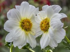 The Kiss (PriscillaBurcher) Tags: dalia dahlia daliablanca whitedahlia florblanca whiteflower l1020500