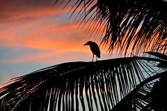 Yellow Crowned Night Heron (Izzysan) Tags: heron bird dominica nyctanassaviolacea neornithes neognathae pelecaniformes dominicaphotography dominicaphoto dominicaimage birds nikon nikondslr nikonslrgroup ngc smithsonian animalplanet