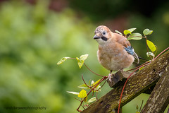 Jay (Explored 20 July 2016) (ABPhotosUK) Tags: birds animals canon garden jay wildlife devon crows dartmoor garrulusglandarius corvidae eos7dmarkii ef100400mmisii