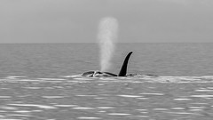 Thar She Blows (or is it a He)... (RussellK2013) Tags: nikon nikkor nature ngc ocean outdoor orca orcinusorca wildlife wild whale water predator kill killer killerwhale d500 300mmf4epfedvr 300mm prime britishcolumbia canada blackandwhite bw quadra quadraisland transient