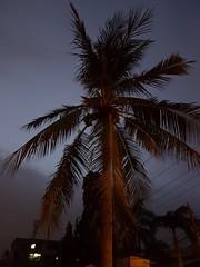 Guardian (pixelasso) Tags: bluehour karachi dusk sunset twilight coconut nature plant bark leaf leaves