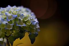 flower 895 (kaifudo) Tags: sapporo hokkaido japan maruyamapark flower hydrangea      nikon d750 sigmaapomacro150mmf28 sigma 150mm macro