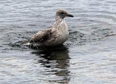 Herring Gull (6) (grahamh1651) Tags: newlyn newlynharbour tolcarne birds seabirds gulls swans waders shorebirds