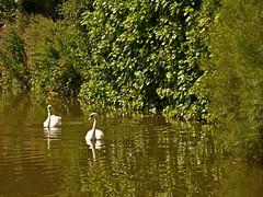 1295-24L (Lozarithm) Tags: aylesbury bucks canals guc swans pentaxzoom k1 28105 hdpdfa28105mmf3556eddcwr