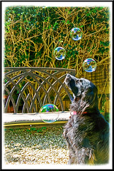 (8c/12 Missy) My Thoughts are like Bubbles ......Fleeting (Missy2004) Tags: nikkorafs18105mm3556ged studio26 assignment17 water missy flatcoatedretriever bubbles 12monthsfordogs16