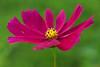 Full Size Cosmos.. (zoomclic) Tags: canon closeup colorful fullsize nocrop 85mm12l 12mmexttube pink green crossprocess dof dreamy cosmos bokeh nature garden yellow zoomclicphotography