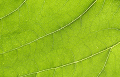 Sunflower Leaf (simonannable) Tags: green network detail intricate nikond750 macro close up background backlit backlight plant plants leaf leafes leafs veins arteries pattern natural naturalbeauty nature work fine detailed fragile flimsy thin translucent layout map road wonderful studio nikonphotographers tamron90mm sunflower world life spread summer view structure texture surface branching branches phloem xylem distribution system design pigment chlorophyll
