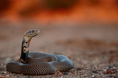 Mozambique spitting cobra (Naja mossambica) (Theo Busschau) Tags: snake southafrica snakesofsouthafrica sunset goldenlight gold ngc naturephotography nature herps herping herpingsouthafrica herpphotography spittingcobra mozambiquespittingcobra cobra canon closeup reptile reptilesofsouthafrica reptilemacro reptilephotography 70d 55250mmstm wildlifephotography wildlife wilderness